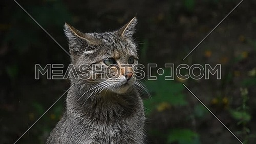 Close up side profile portrait of one European wildcat (Felis silvestris) looking away and at camera, turning head watching alerted, low angle view