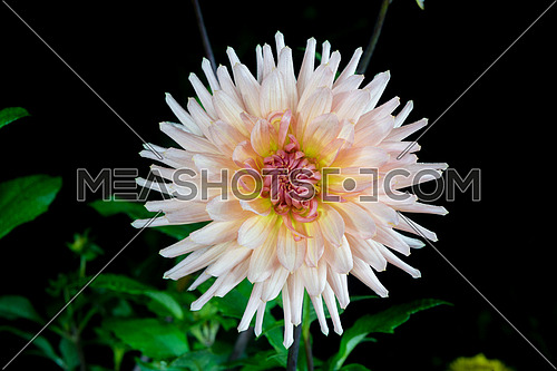 beautiful dahlia flower  isolated on black background with rain drops in garden