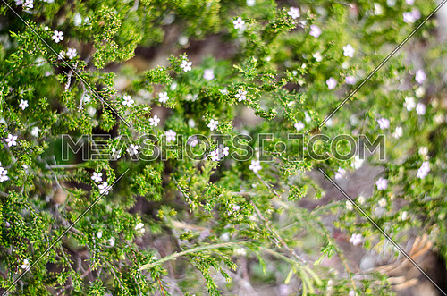 closer look on small white flowers growing on a green plant bush
