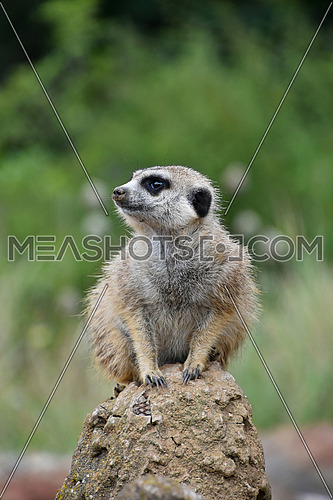 Close up front portrait of one meerkat sitting on a rock and looking away alerted over green background, low angle view