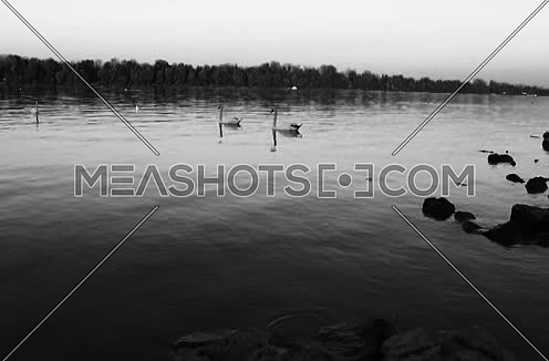 black and white Swans at the River Danub