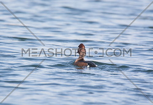 ferruginous Duck swimming