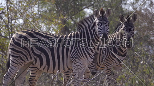 View of two adult and one foal Zebra in the forest