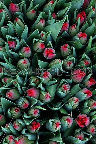 Close up background of red coral pink fresh springtime tulip flowers with green leaves on retail display, close up, elevated high angle view, directly above