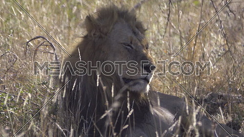 View of a resting male lion turning its head