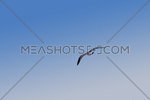 Close up one sea gull flying high and hovering in clear blue sky, low angle view