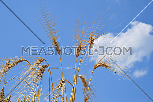 Close up group of ripe wheat or rye ears under clear blue sky, low angle view