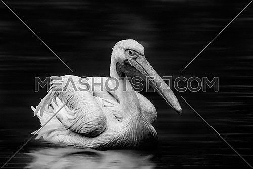 a black and white image of a Pelican in the water