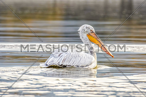 Dalmatian pelican (Pelecanus crispus) shot  at lake Kerkini in Greece. Wildlife in natural habitatClose-up portrait of Dalmatian pelican (Pelecanus crispus). Large silvery-white bird with curly nape feathers and huge bill with orange pouch.