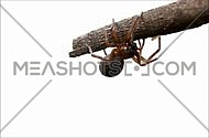 Brown spider crawling on a tree branch against a white background
