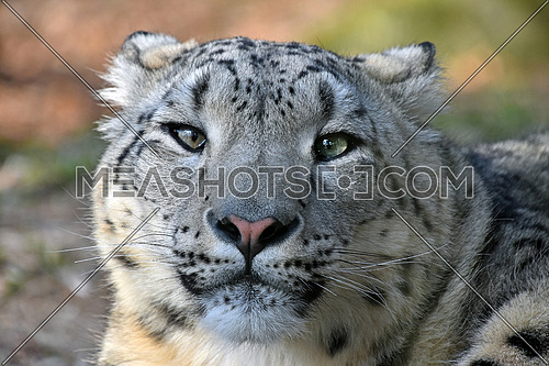 Close up portrait of young female snow leopard (or ounce, Panthera uncia) looking at camera, low angle view