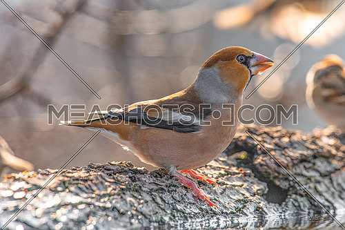 Hawfinch (Coccothraustes coccothraustes) Nature and wild bird image