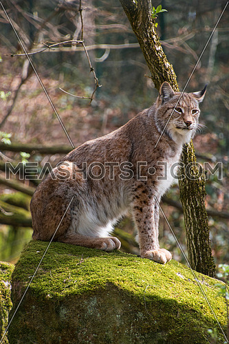 Close up side profile portrait of young Eurasian lynx sitting on moth stone in forest among trees, looking at camera, low angle view