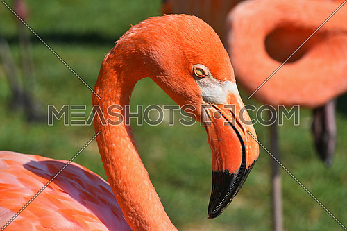 Close up side profile portrait of pink orange flamingo, head with beak, over green grass background, high angle view