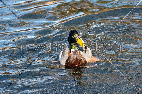 Close-up of a Mallard Duck (Anatidae) at the lake.Animals in the wild