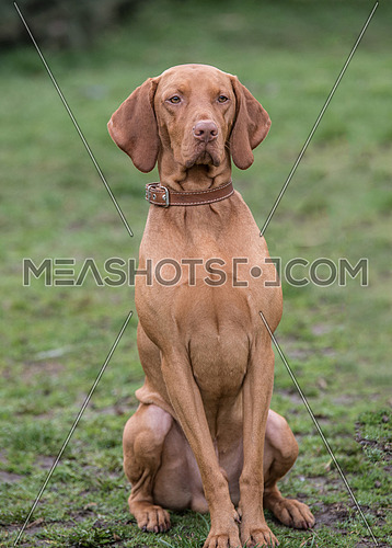 Portrait of a Hungarian Vizla dog