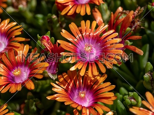 Macro shot of Delosperma nubigenum (Aizoaceae) . Shallow depth of field