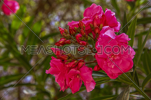 a close up for flowers in a Garden showing green leaves and flowers in purple or pink color