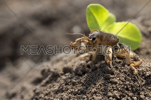 Gryllotalpa gryllotalpa, commonly known as the European mole cricket digging the ground in close up low angle view