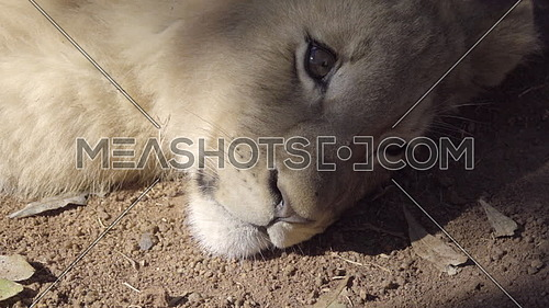 Scene of lion cub face resting in shade
