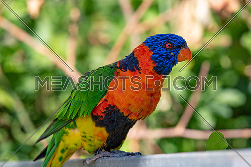 Rainbow lorikeets (Trichoglossus haematodus) are brightly colored, medium-sized parrots that are not considered to be established in the wild in New Zealand.