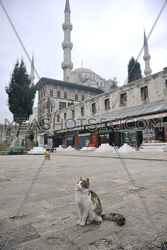 A cat in the foreground of sultan ahmet mosque istanbul