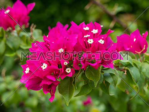 Bougainvillea flowers texture and background. Ping flowers of bougainvillea tree. Close up view of bougainvillea ping  flower.Hybrid flower