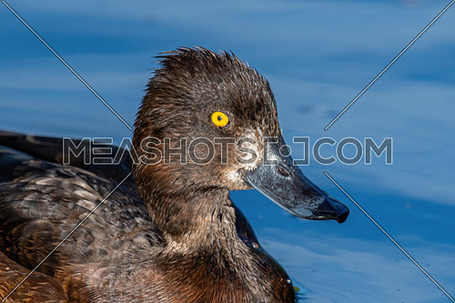 Close up portrait of Tufted Duck or Aythya fuligula