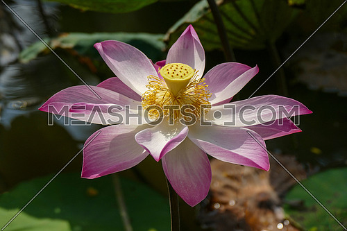Close-up shot of lotus or water lily  flower in pond