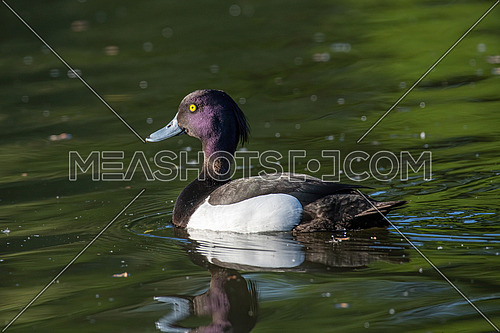 Adult male tufted duck (Aythya fuligula) swimming in a pond
