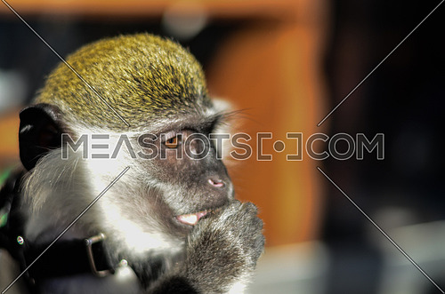 A monkey's face from the side looking ahead and shade covers his face