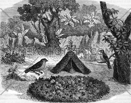 Amblyornis gardener or bird of New Guinea, vintage engraved illustration. Magasin Pittoresque 1882.