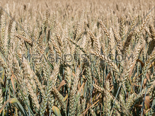 Ripe wheat ears on the field before harvest