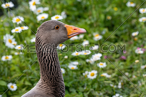 Greylag goose (anser answer) close up of brown head, orange beak and white feathers