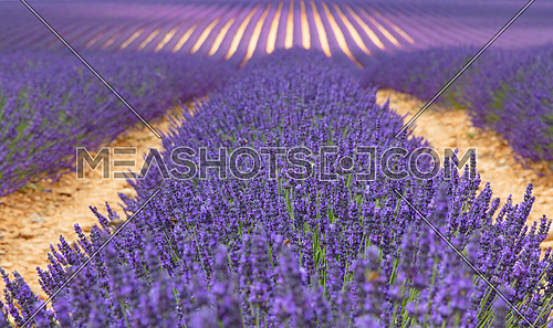 Purple blooming lavender field of Provence, France, in day time, low angle view, perspective