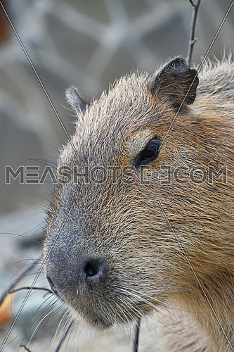 Close up portrait of capybara (Hydrochoerus hydrochaeris), the largest rodent in the world