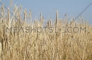 Field of ripe mature wheat full ears spikes shaking in the wind under clear blue sky