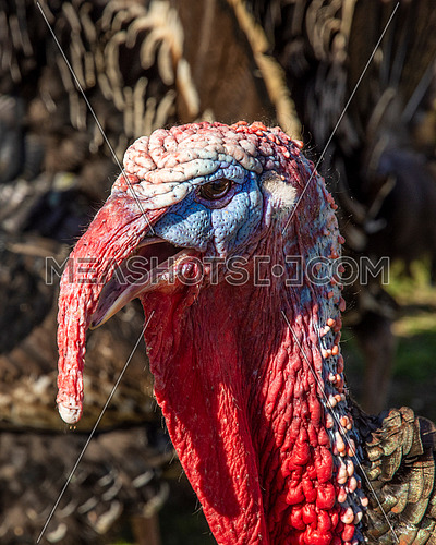 Meleagris gallopavo - domestic Turkey, links to christmas and thanksgiving celebrations