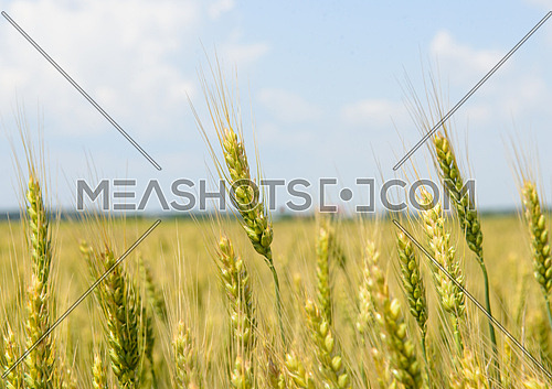 Wheat Field shot in Romania