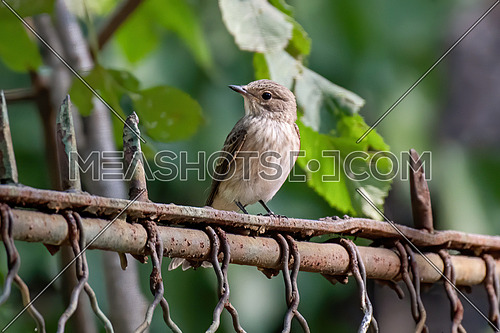 Spotted Flycatcher ( Muscicapa striata) Small passerine bird in the Old World flycatcher family, breeds in Europe and western Asia, migratory