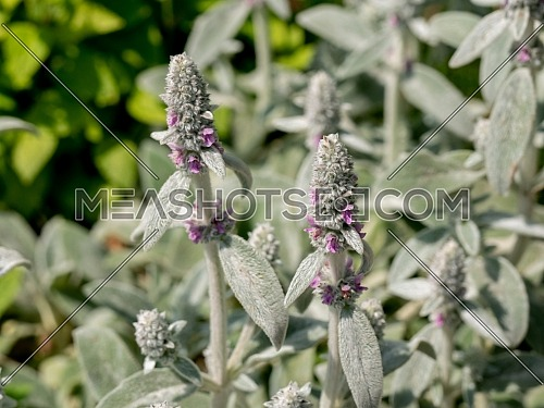 Close up of Thymus Citriodorus (Lemon thyme or Citrus thyme) ** Note:Selective focus