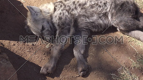 View of a young hyena resting in the shade