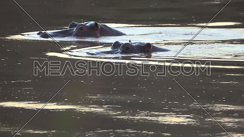 Scene as a hippo surfaces next to another hippo