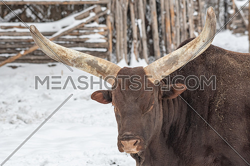 Ankole-Watusi cows which have the world's largest horns for cattle