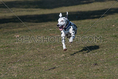 Adorable Black Dalmatian dog running outside in the park