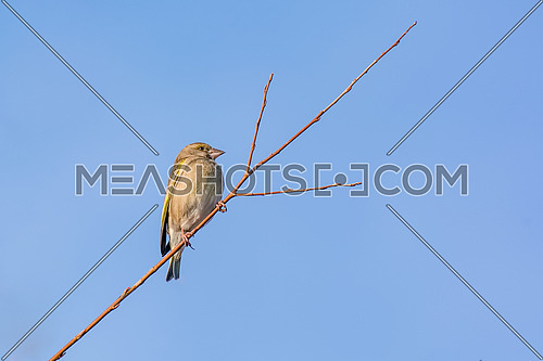 Greenfinch (Carduelis chloris) on a twig.Selective focus