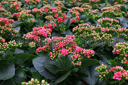 Close up fresh purple pink potted Kalanchoe flowers on retail display of flower shop