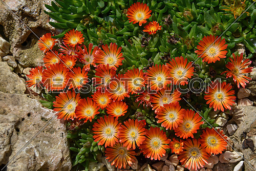 Trailing Ice plant orange flower (Delosperma cooperi)