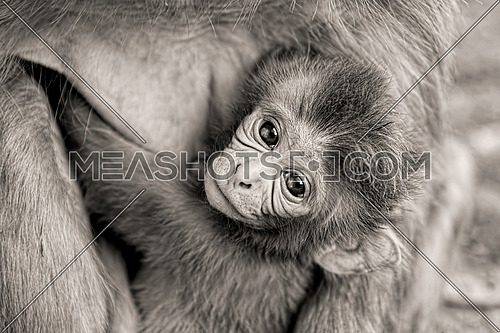black and whote close up of a little monkey carried by his mother looking up