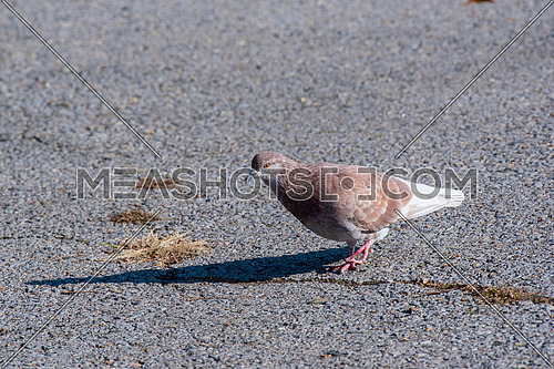 The large bird genus Columba comprises a group of medium to large stout-bodied pigeons, often referred to as the typical pigeons